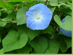 Morning Glory_Summer 2007