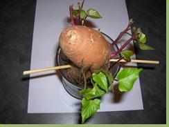 Sweet potato sprouting_03-08