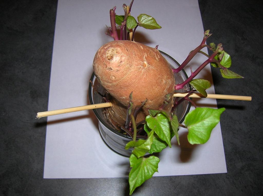Sweet Potato Slips Growing