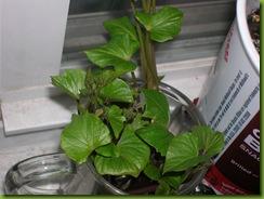 Sweet Potatoe slips in water - 3-29-08