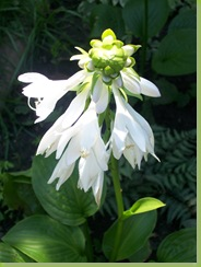 Hosta Bloom_Sumer 2006