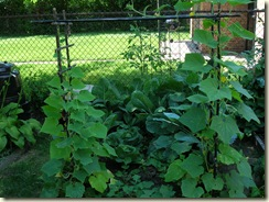 08-17-08_Cukes, Sweet Potaotes, Cabbage, Collards