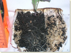 Collard root system grown in paper pot