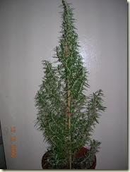 12-12-08_Rosemary