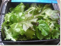 12-22-08_Lettuce Picked Today