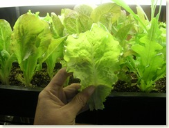 12-22-08_Lettuce With Bugs on Leaves