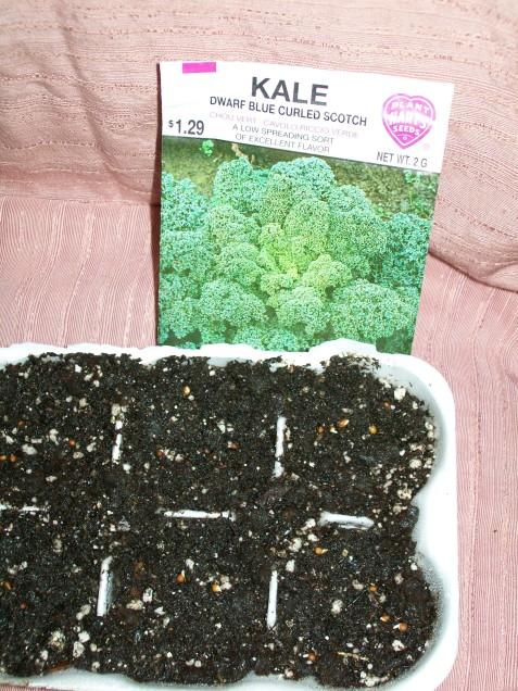 kale seeds germinating