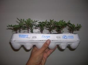 Marigolds planted 02-15-09