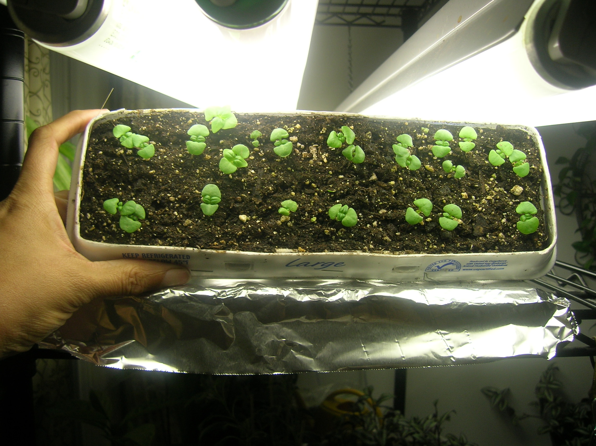 How to grow petunia from seeds - So Many Seedlings In Fact That You Decide To Share The Wealth You Have This Master Gardener Friend Who Is Starting Seeds In A Greenhouse And You Think