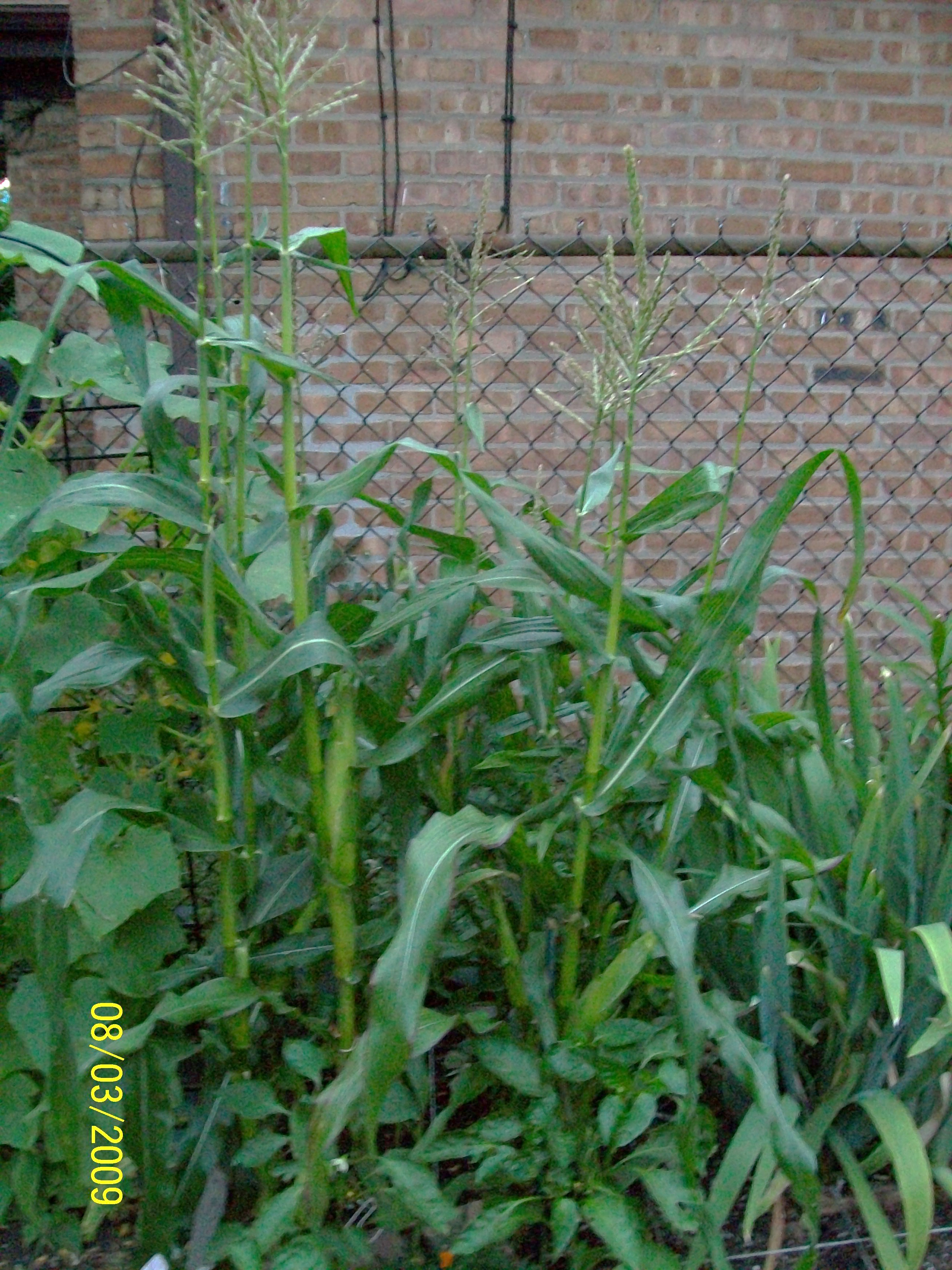 Mini Corn Plant : Corn in the square foot garden cheryl s goodies