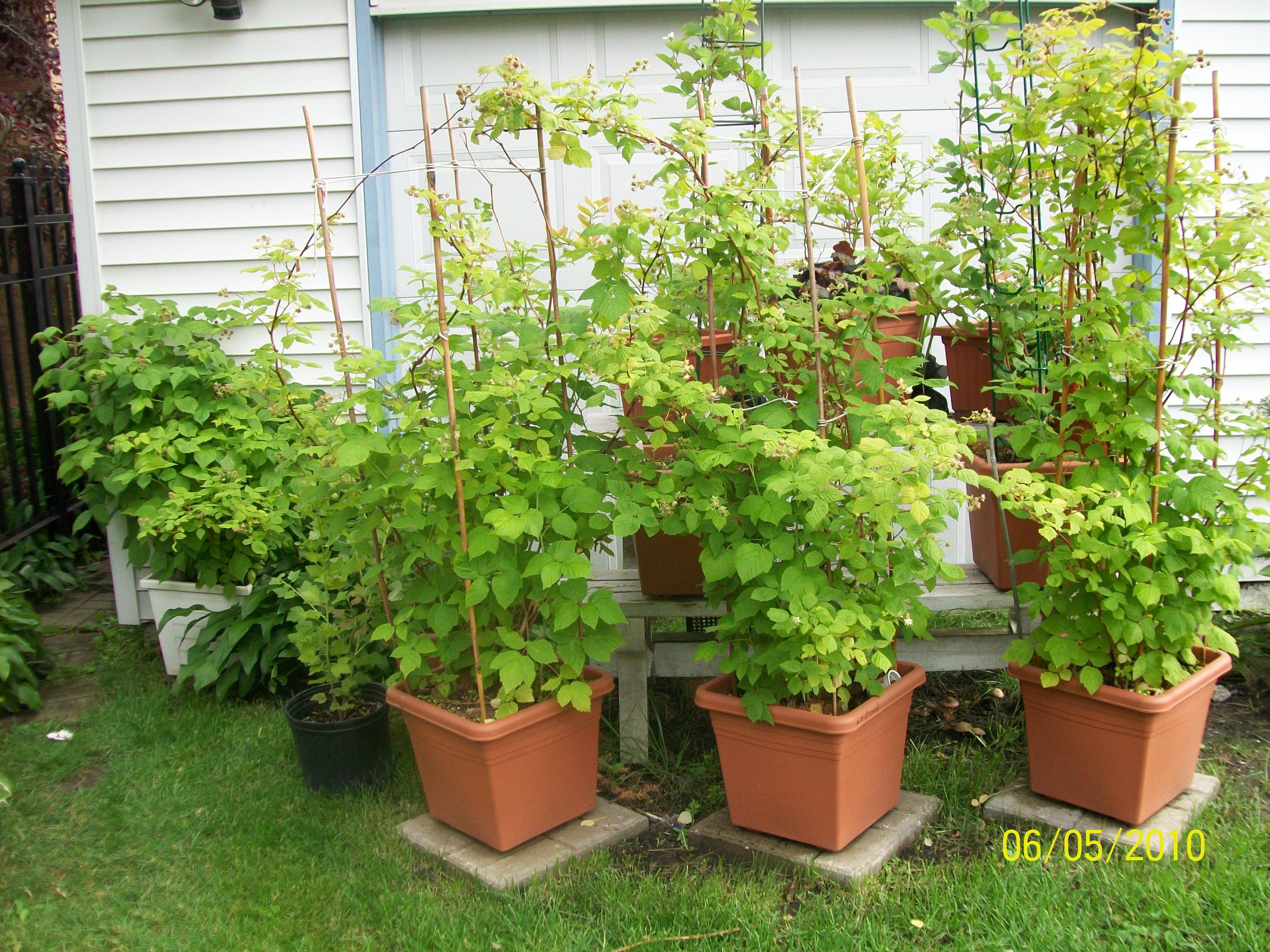 Growing Berries In Containers Cheryl S Garden Goodies